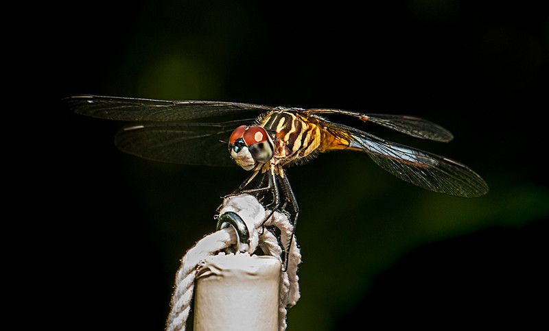 First Place<br /> Blue Dasher<br /> Nancy Springer