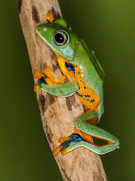 Second Place (Tie)<br /> Blue Webb Tree Frog<br /> Jay Feldman