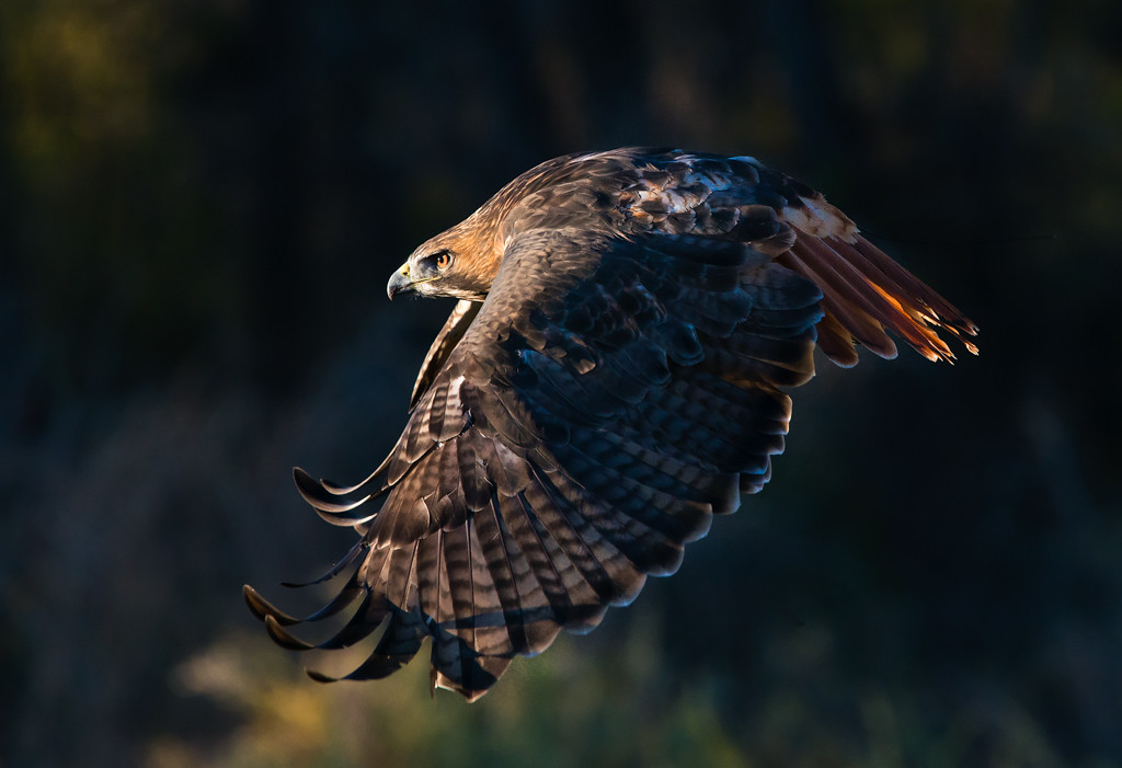 Second Place<br /> Red-Tailed Hawk At Sunrise<br /> Kathy Snead