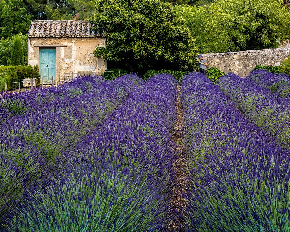 Third Place (Tie)<br /> French Lavender<br /> Dave Garrison