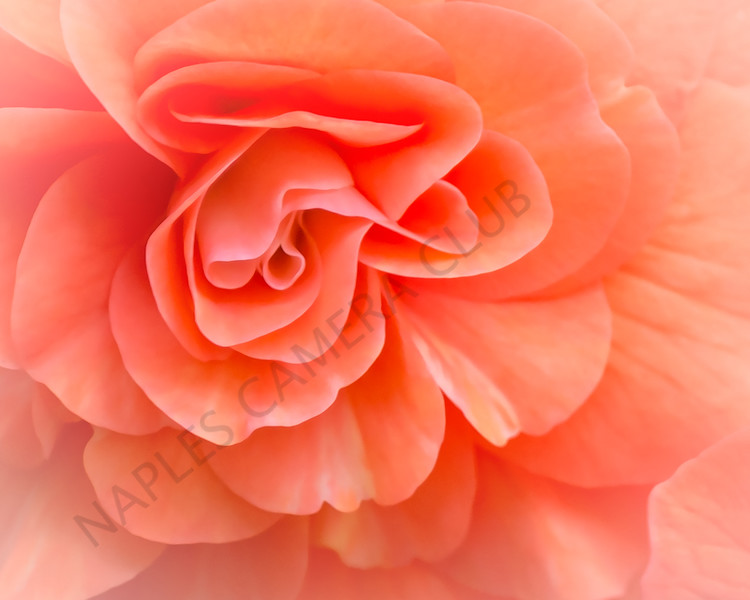 Open Projection Image of the Year<br /> Shy Begonia<br /> Kathy Snead