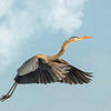 Heron in Flight<br /> First Place (Tie)<br /> Nancy Springer