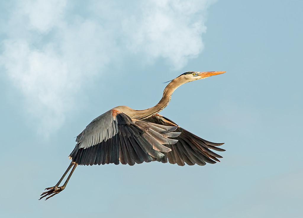 Heron in Flight<br /> First Place (Tie)<br /> Nancy Springer