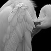 Preening White Egret<br /> Third Place (Tie)<br /> Nancy Springer