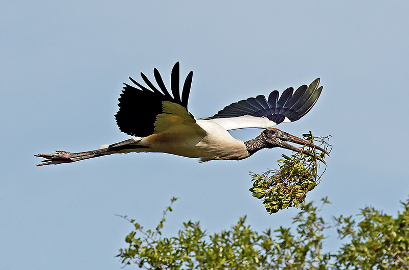 Wood Stork Nest Building<br /> Third Place<br /> Nancy Springer