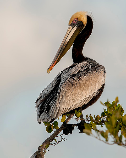 Pelican Resting<br /> Second Place (Tie<br /> Ed Cohen