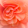 Shy Begonia<br /> First Place (Tie)<br /> Kathy Snead