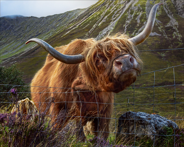 Highland Cattle<br /> First Place (Tie)<br /> Bob Kenedi