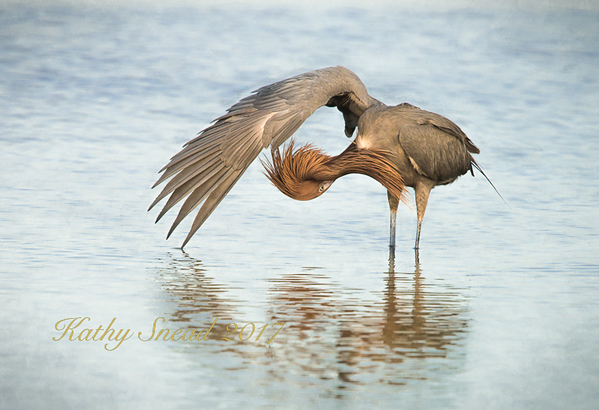 First Place<br /> Reddish Egret Preening<br /> Kathy Snead