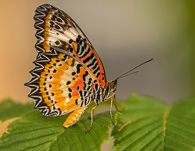 First Place (Tie)<br /> Butterfly on Leaf<br /> Nancy Springer