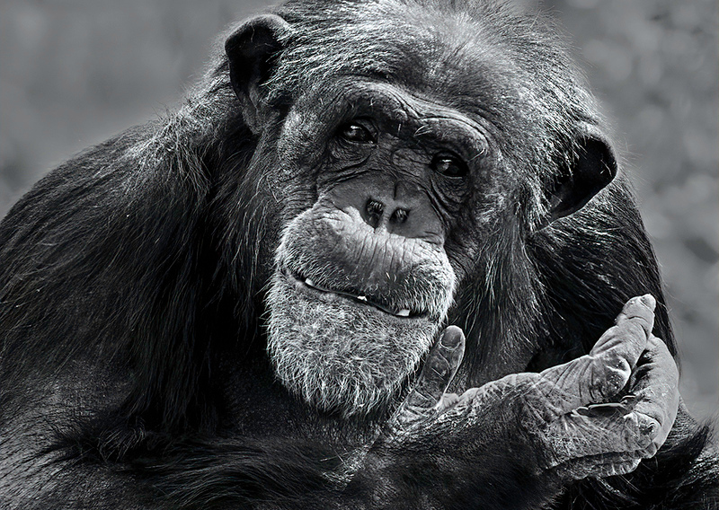 Monochrome Projection Image of the Year<br /> Chimpanzee<br /> Nancy Springer