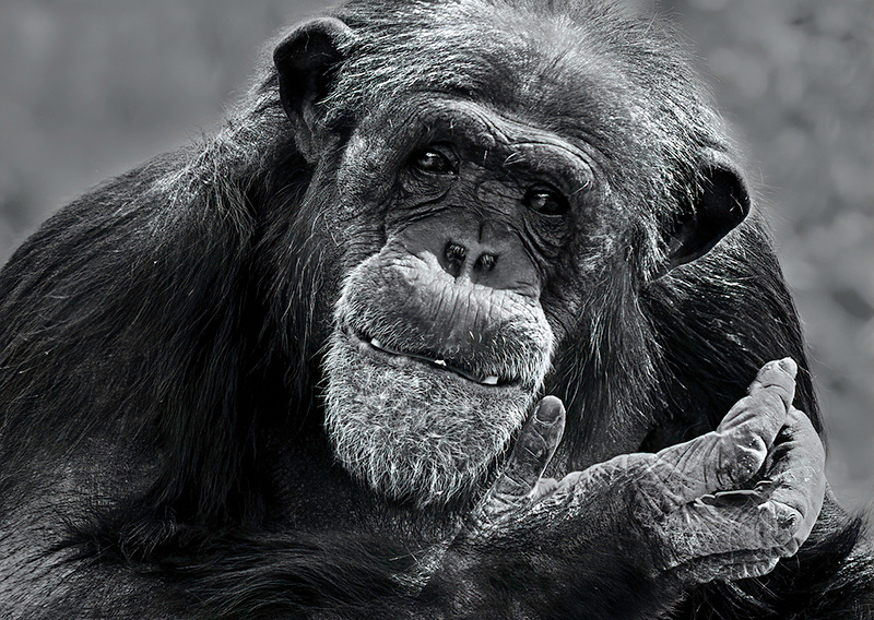 Second Place<br /> Chimpanzee<br /> Nancy Springer