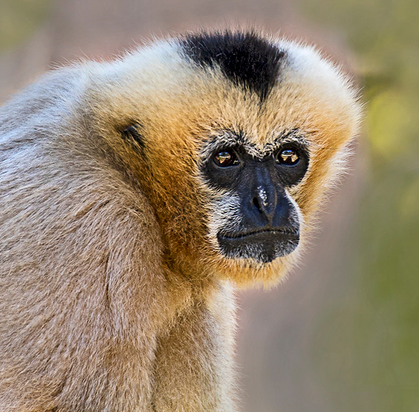 Third Place<br /> Gibbon Monkey<br /> Nancy Springer