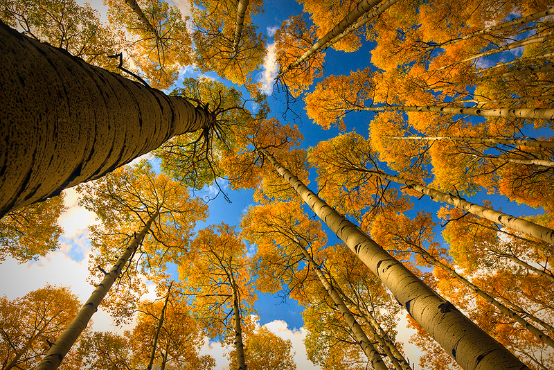 Nature Projection Image of the Year<br /> Aspen Tops<br /> Dave Garrison
