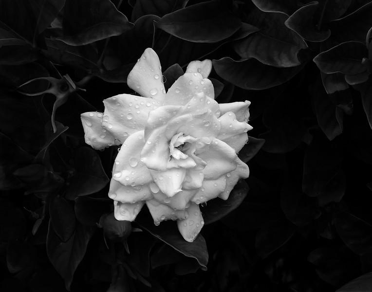 Third Place (Tie)<br /> Gardenia in Bloom<br /> Bill Grabinski