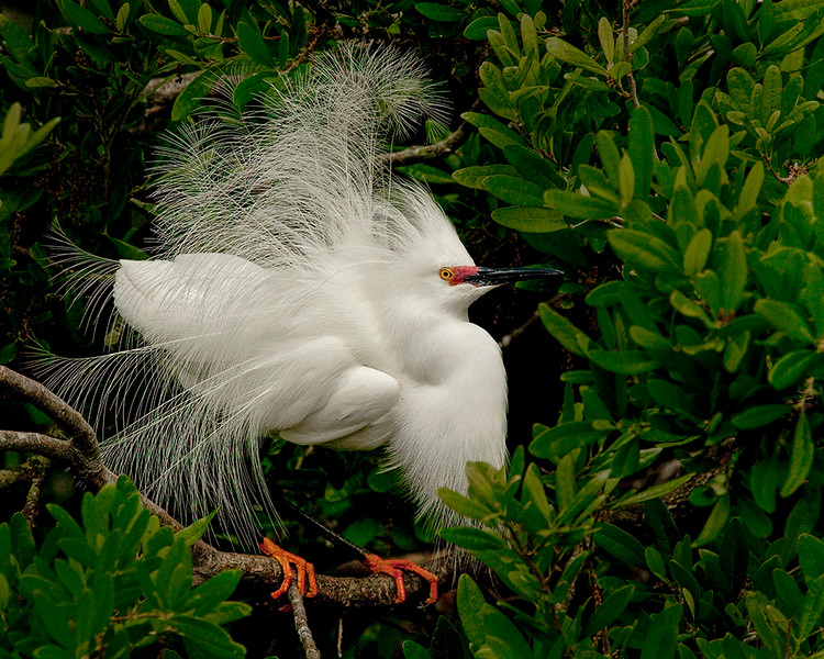 May<br /> Honorable Mention<br /> Projected Imaging Division<br /> Snowy Egret<br /> Dave Garrison
