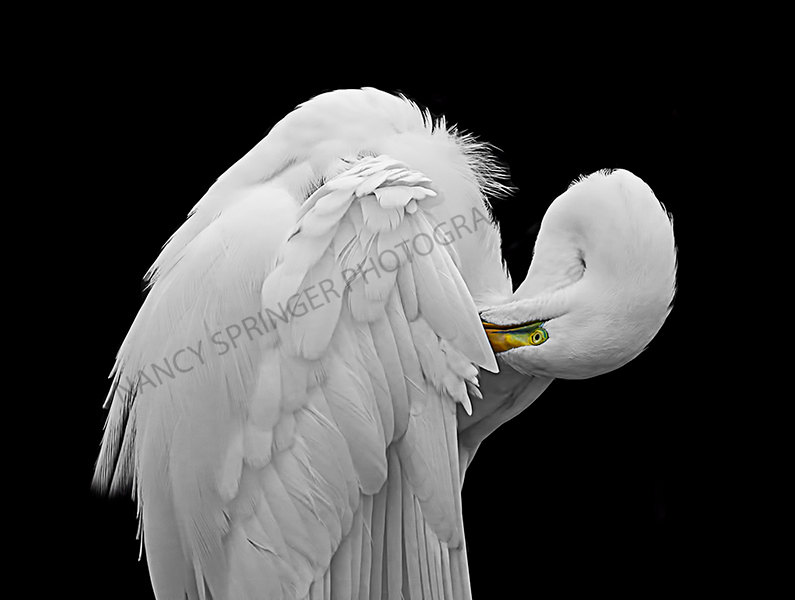 April 2017<br /> Honorable Mention<br /> Projected Nature Divison<br /> Preening White Egret<br /> Nancy Springer