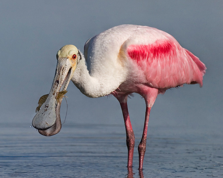 April<br /> Honorable Mention<br /> Color Projected Image Division<br /> Spoonbill with Shrimp<br /> Mike Landwehr