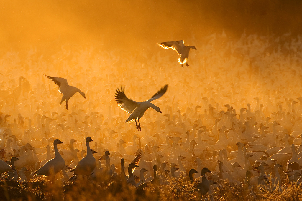 October<br /> Blue Award<br /> Color Projected Image Division<br /> Geese in the Corn Dust<br /> Mike Landwehr
