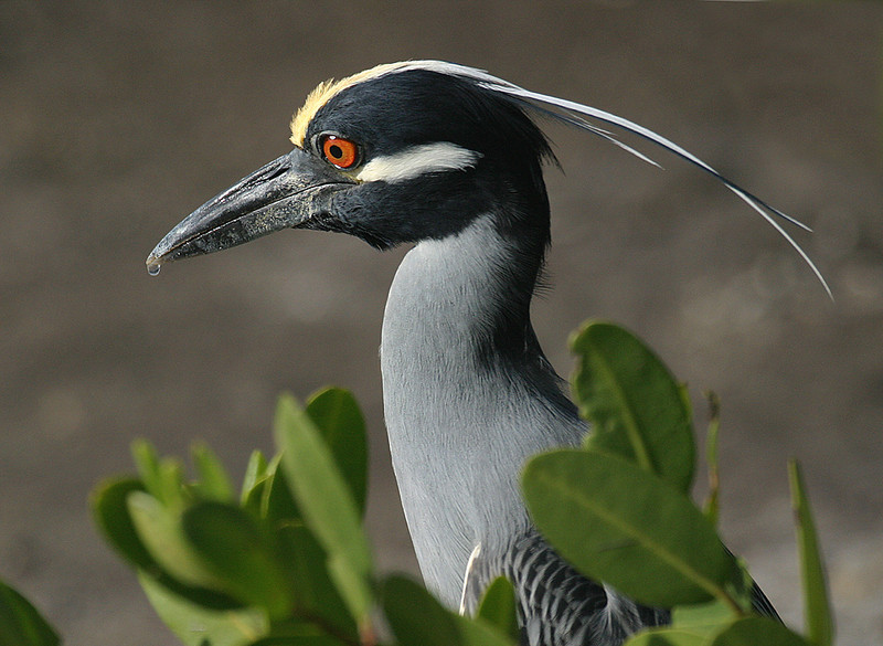 December<br /> Blue Award<br /> Color Projected Image Division<br /> Yellow-Crowned Night Heron<br /> Mike Landwehr