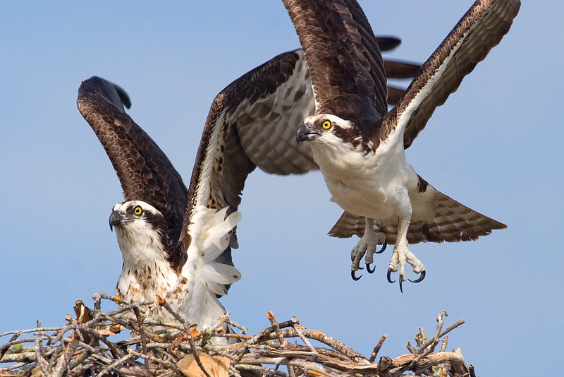 April<br /> Blue Award<br /> Nature Photography Division<br /> Osprey Liftoff<br /> Mike Landwehr