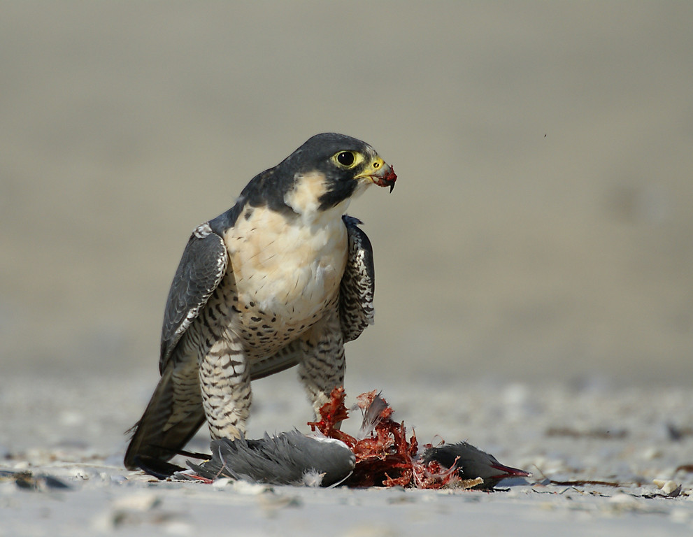 April<br /> Honorable Mention<br /> Nature Photography Division<br /> Peregrine Falcon<br /> Della Landheer