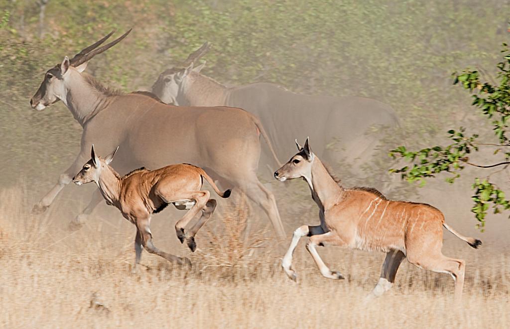 November<br /> Honorable Mention<br /> Nature Photography Division<br /> Eland Run<br /> Carol Williamson