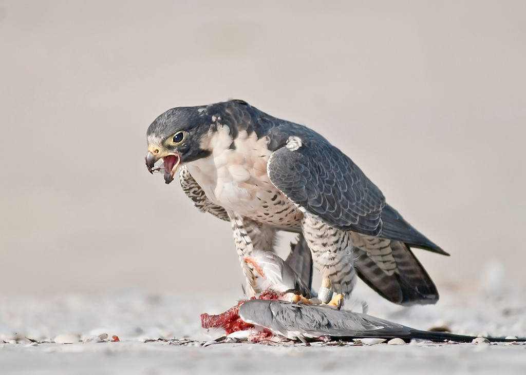 January<br /> Blue Award<br /> Electronic Imaging Division<br /> Peregrine Falcon<br /> Nancy Springer