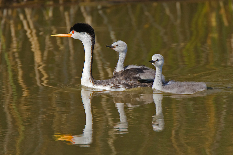 May<br /> Blue Award<br /> Electronic Imaging Division<br /> Western Grebe Family<br /> Liz Keery