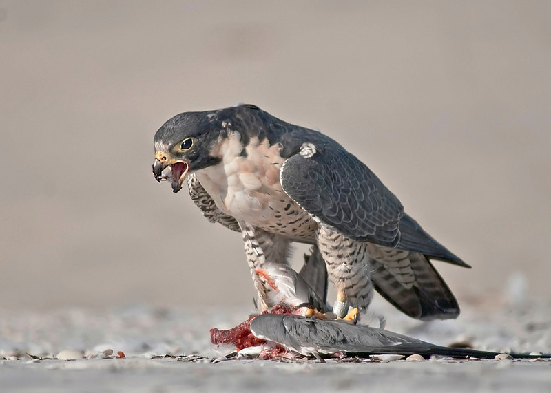January<br /> Honorable Mention<br /> Nature Photography Division<br /> Peregrine Falcon Dining<br /> Nancy Springer