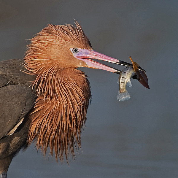 January<br /> Blue Award<br /> Projected Imaging (Open) Division<br /> Reddish Egret with Fish<br /> Mike Landwehr