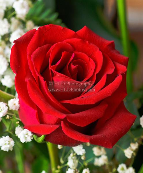 Rose DSC_0069