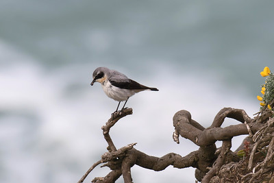 Fourth Place Wheatear on the Cliff