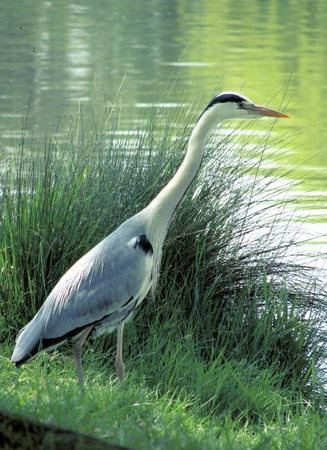 Fourth Place - Heron in Bushey Park
