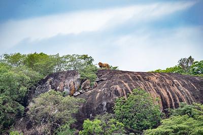 Mountain, Lion