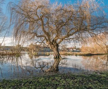 Waterlogged Willow