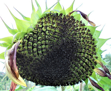 Seeded Sunflower