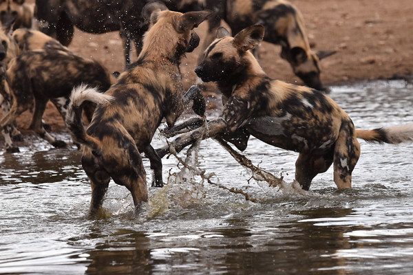 Wild Dog Boxing