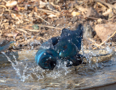 Glossy Starling Bathing