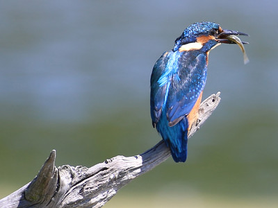 Kingfisher Lunchtime