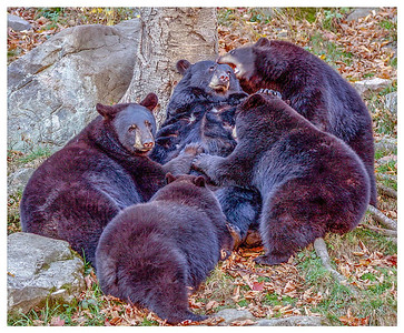 Black Bear Feeeding Cubs