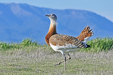 Great Bustard  Patroling