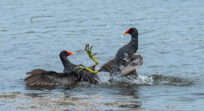 Moorhens Fighting