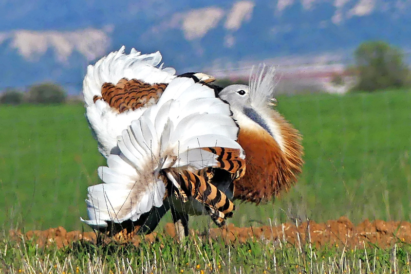 Great Bustard Male Dispalying