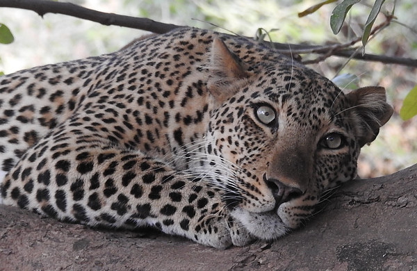 Mother Leopard In Luangwa