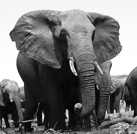 Elephant At Senyati