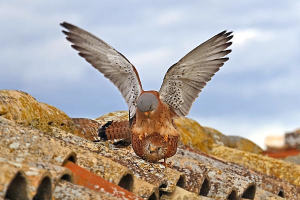 Lesser Kestrel Mating