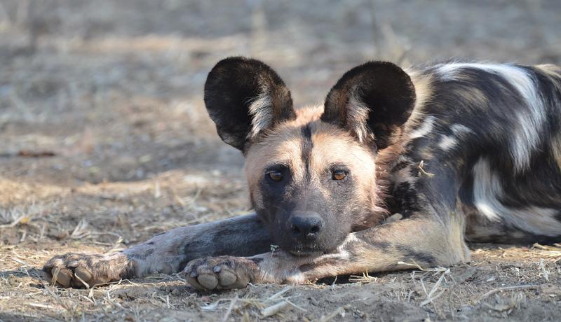Wild Dog In South Luangwa