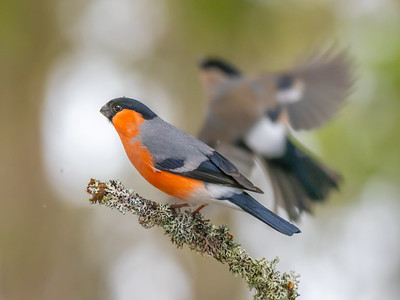 Bullfinches In Finnish Wood In Winter