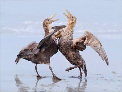 Fighting Giant Petrel